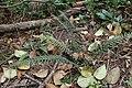 Doodia australis kz13.jpg