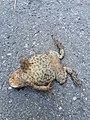 Dornbirn Dead Frog-01.jpg