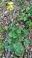 Doroncium sp. Asteraceae 04.jpg