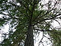 Douglas Fir at Sproat Lake Provincial Park.JPG