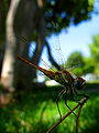 Dragonfly tk 2009 01 cut.jpg