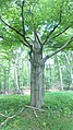 Dreibaum im Hullerbusch - panoramio.jpg