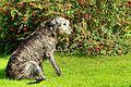 Drew - Irish Wolfhound (21563647229).jpg