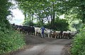 Driving the Cattle - geograph.org.uk - 193892.jpg