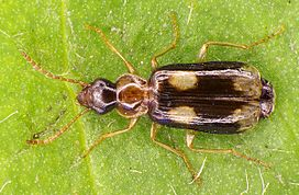 Dromius quadrimaculatus up.jpg
