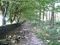 Dry Stone Wall and an avenue of Beech Trees - geograph.org.uk - 543807.jpg