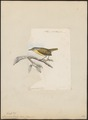 Drymoica tenella - 1868 - Print - Iconographia Zoologica - Special Collections University of Amsterdam - UBA01 IZ16200049.tif