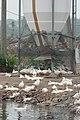 Duck farming at Huwei 20080520 12.jpg