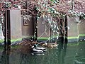 Ducks on the canal - geograph.org.uk - 673617.jpg