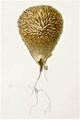 Dufour - Lycoperdon echinatum.png