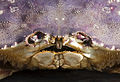 Dungeness crab face closeup.jpg