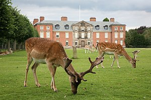 Fallow deer on the lawn at Dunham Massey Hall