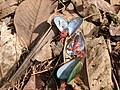 Dysdercus cingulatus 75.jpg
