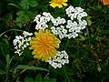 Dzikie kwiaty - panoramio.jpg