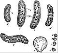 EB1911 Endospora - Bertramia Asperospora.jpg