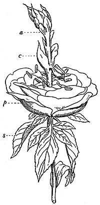 EB1911 Flower - Proliferous Rose.jpg