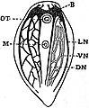 EB1911 Planarians - Nervous System of Haplodiscus.jpg