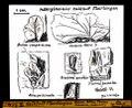 ETH-BIB-Kalktuff Flurlingen, Buxus, Abies, Taxus, Fraxinus, Hedera (?)-Dia 247-Z-00354.tif