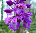 Early Purple Orchid. (Orchis mascula). - Flickr - gailhampshire (1).jpg