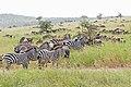 Eastern Serengeti 2012 05 31 2933 (7522624174).jpg