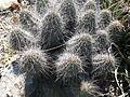 Echinocereus stramineus (5729777256).jpg