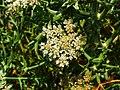 Echinophora spinosa 003.JPG