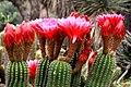 Echinopsis huascha.jpg