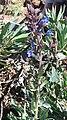 Echium gentianoides2.jpg