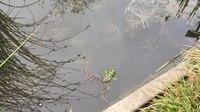 File:Edible frog (Pelophylax kl. esculentus) calling.webm