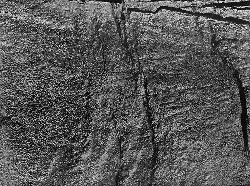 File:Edmontosaurusskin.jpg