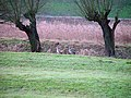 Egyptian geese with willows 26-01-2003 (6318830034).jpg