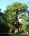 Eiche von Barmstedt 08.jpg