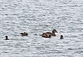 Eider duck (female) with chicks (9529298678).jpg