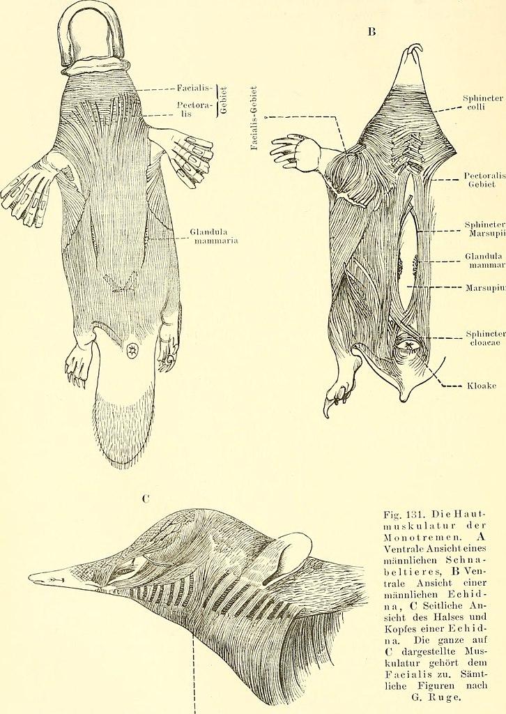 Fantastisch Funktionelle Anatomie Des Wirbeltieres Ideen - Anatomie ...