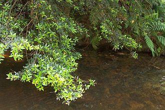 Elaeocarpus holopetalus - Elaeocarpus holopetalus, Blue Mountains National Park, Australia