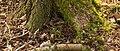 Elzenpropjes aan voet van els (Alnus) Locatie, Natuurterrein De Famberhorst 01.jpg