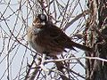 Emberiza leucocephalos; Baikonur-town 001.jpg