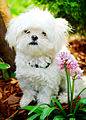 Emily and Flower (Maltese).jpg