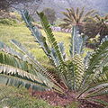 Encephalartos manikensis KirstenboshBotGard09292010B.jpg