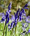 English Bluebells (33817875380).jpg