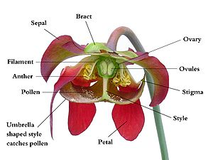 Cutaway view of a Sarracenia flower with anatomical parts labeled