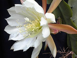 <i>Epiphyllum crenatum</i> species of plant