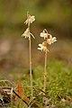 Epipogium aphyllum - Jõhvi.jpg