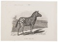 Equus zebra - 1700-1880 - Print - Iconographia Zoologica - Special Collections University of Amsterdam - UBA01 IZ21700109.tif