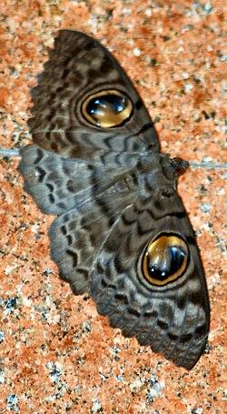 Erebus macrops.jpg