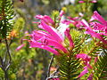 Erica abietina L. subsp. atrorosea Silvermine Dec 13 (3).JPG