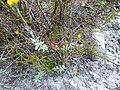 Erica glutinosa.JPG