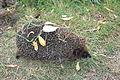 Erinaceus europaeus in Altai krai 05.JPG