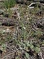Eriogonum racemosum kz03.jpg