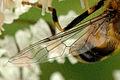 Eristalis.interrupta.wing.detail.jpg